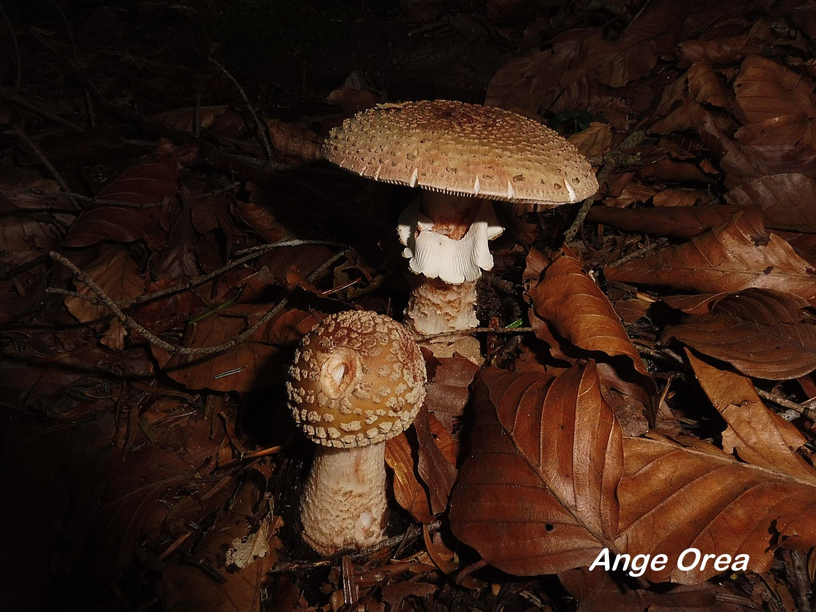Amanita rubescens 2019 09 14 Le Tech